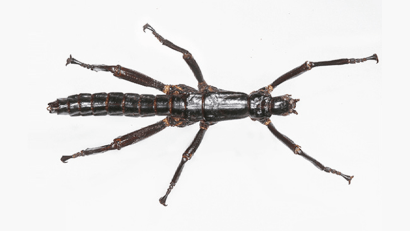 This Horrible Stick Bug Is No Longer Extinct, Sorry