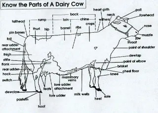 dairy cow parts diagram fisher snow plow solenoid wiring randy moss was right to berate catering says concerned amateur meat expert
