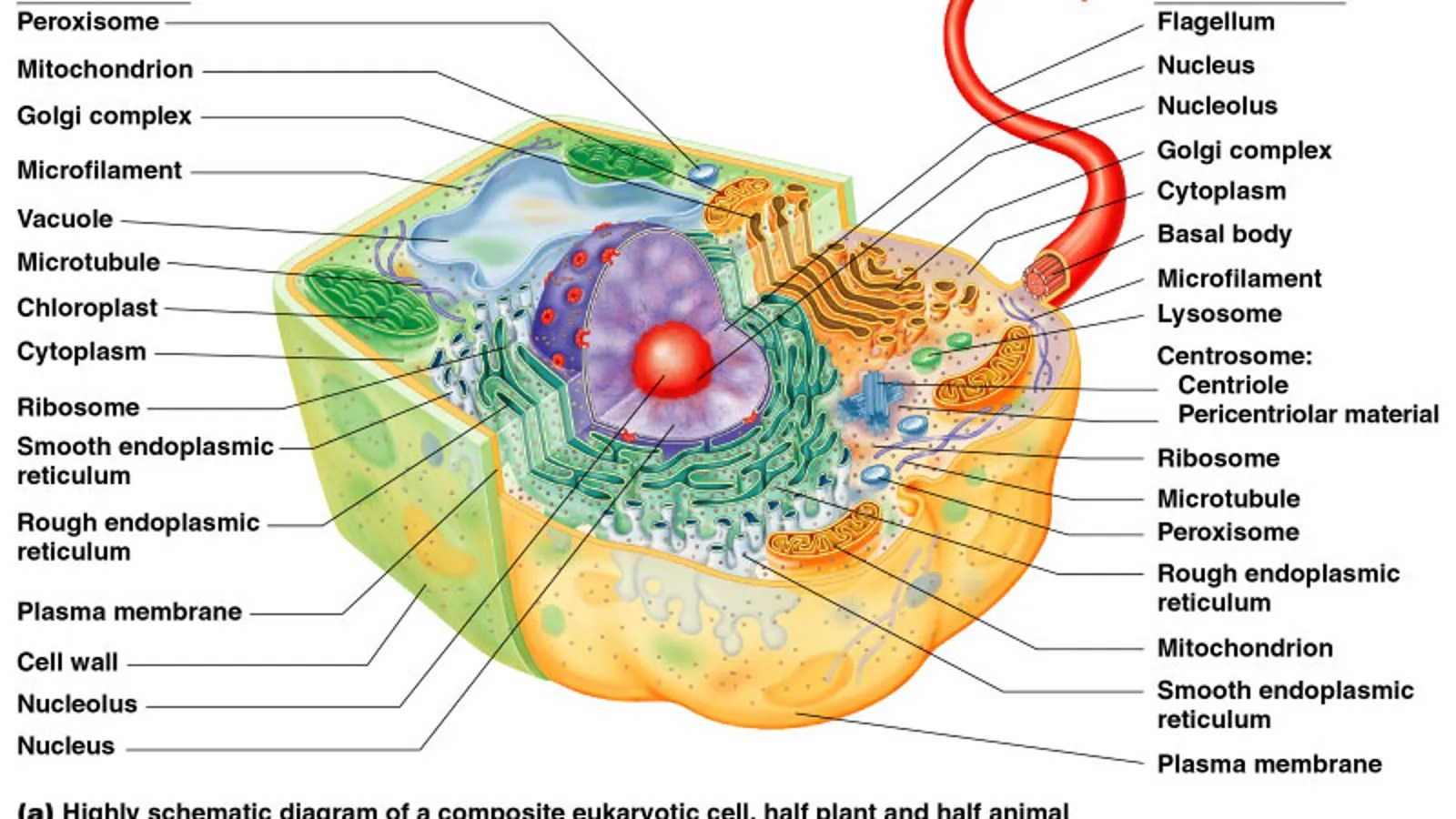 hight resolution of typical eukaryotic cell diagram