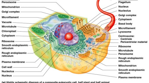 small resolution of typical eukaryotic cell diagram