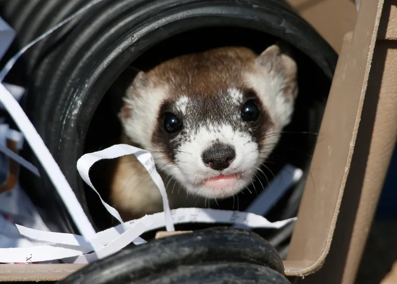 Adorable Black-Footed Ferret Sure Does Like the Taste of Freedom