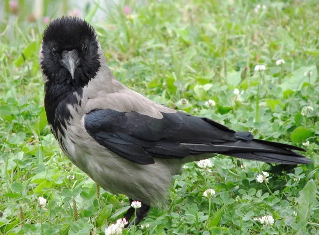 I Am So Tempted to Say that These European Crows Are Racists