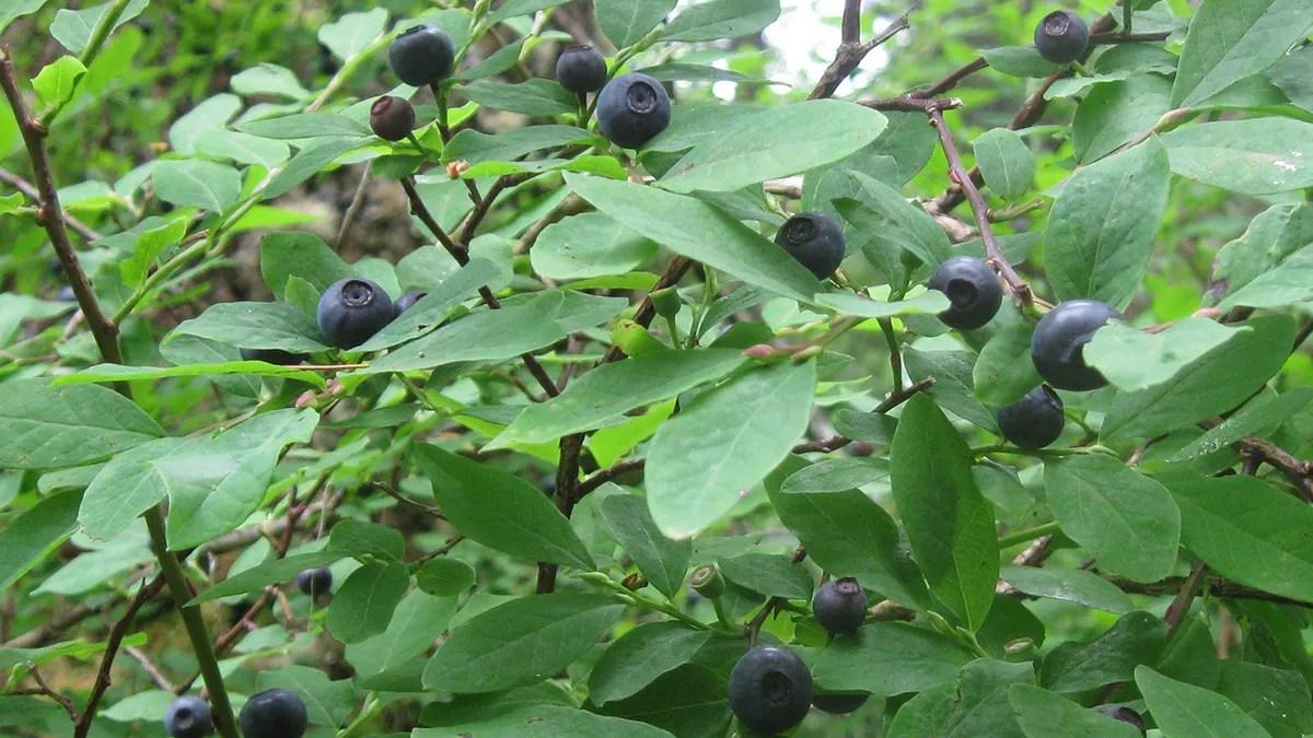 the tastiest berries that