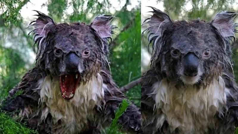 Cool Koala Bear Chubby Adorable Dog - 17urdlng5rv1djpg  You Should Have_861486  .jpg?resize\u003d665%2C374\u0026ssl\u003d1