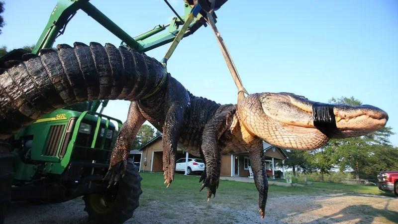 The Largest Alligator Ever Caught