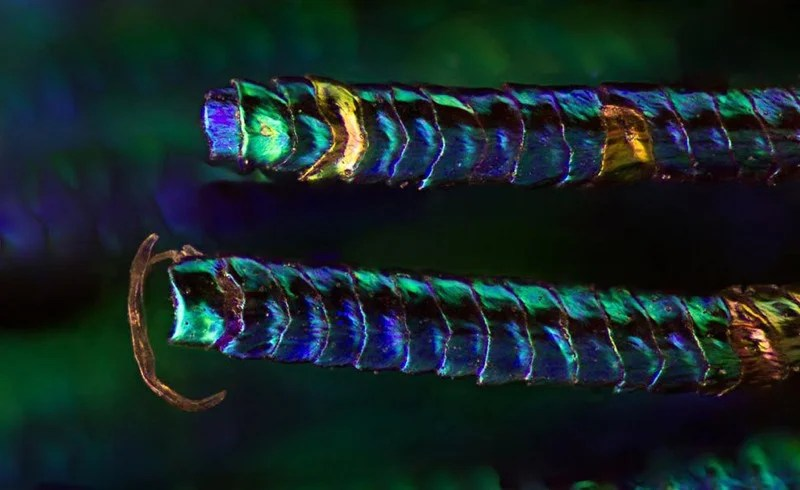 Amazing Photographs Capture the Microscopic Iridescence of Peacock Feathers