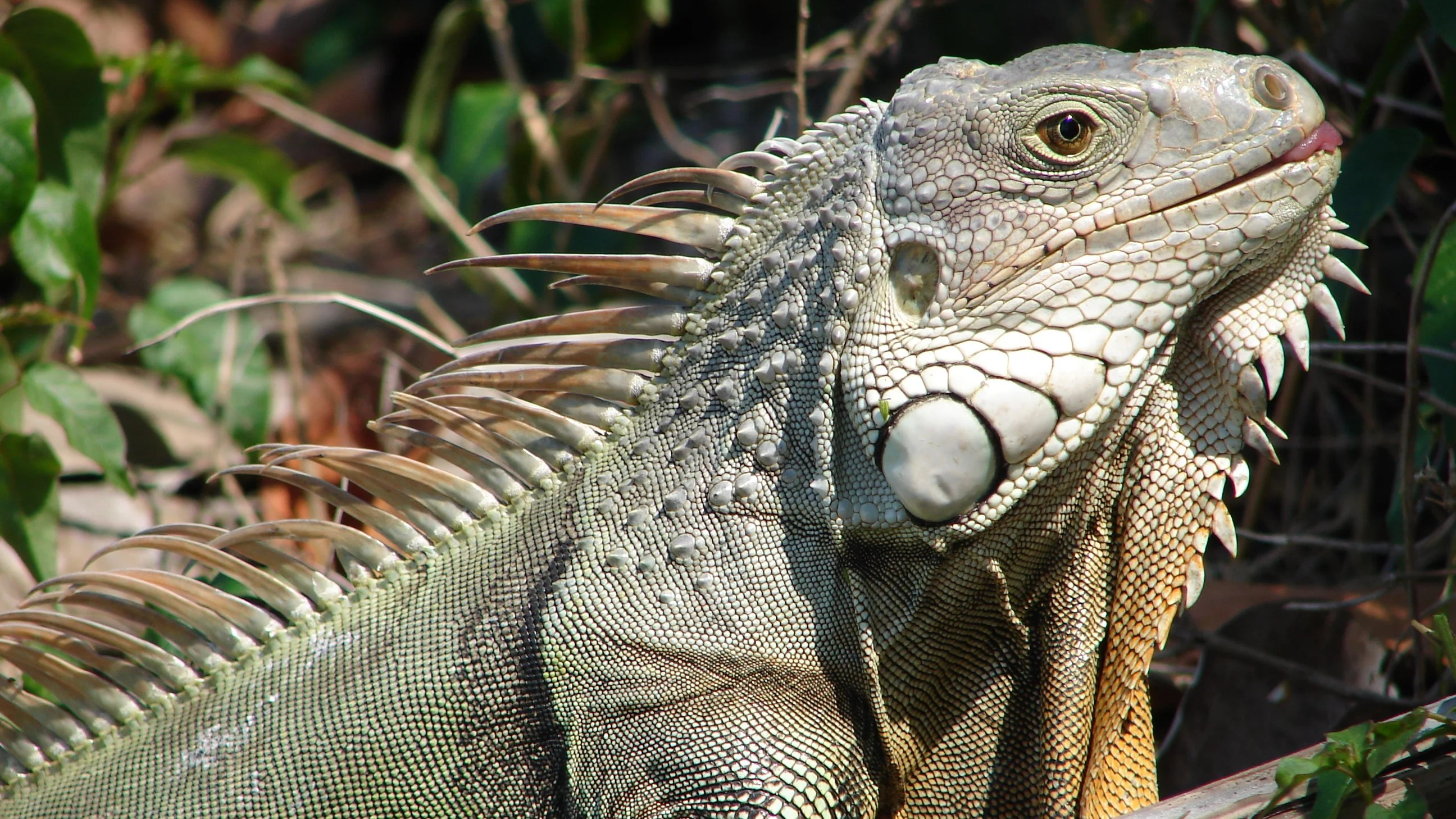 Florida Wildlife Officials Are Killing Invasive Iguanas By