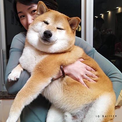 IG Balltze Shiba Inu Dog Mammal Vertebrate Canidae Dog breed Shiba inu Carnivore Akita inu Akita Shikoku Korean jindo dog Ancient dog breeds