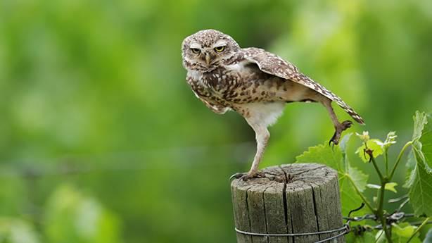 'Baykuşun kısmeti ayağına gelir'
