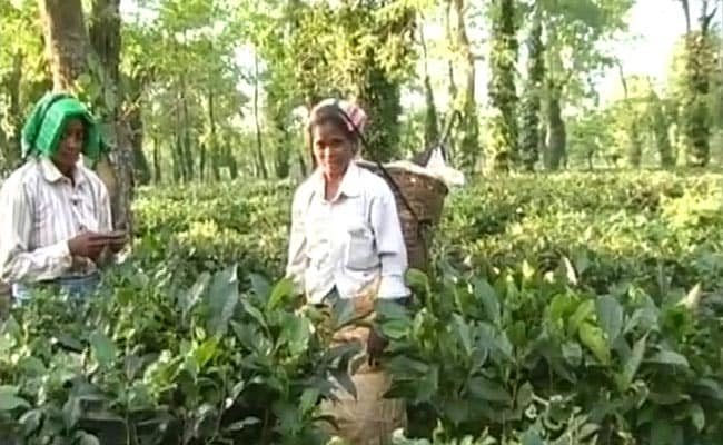 Ahead Of Assam Polls, Tea Industry Body Hikes Workers' Wages By Rs 26