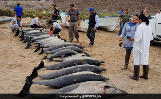 Frantic Operation To Save 54 Dolphins That Washed Up On This Beach