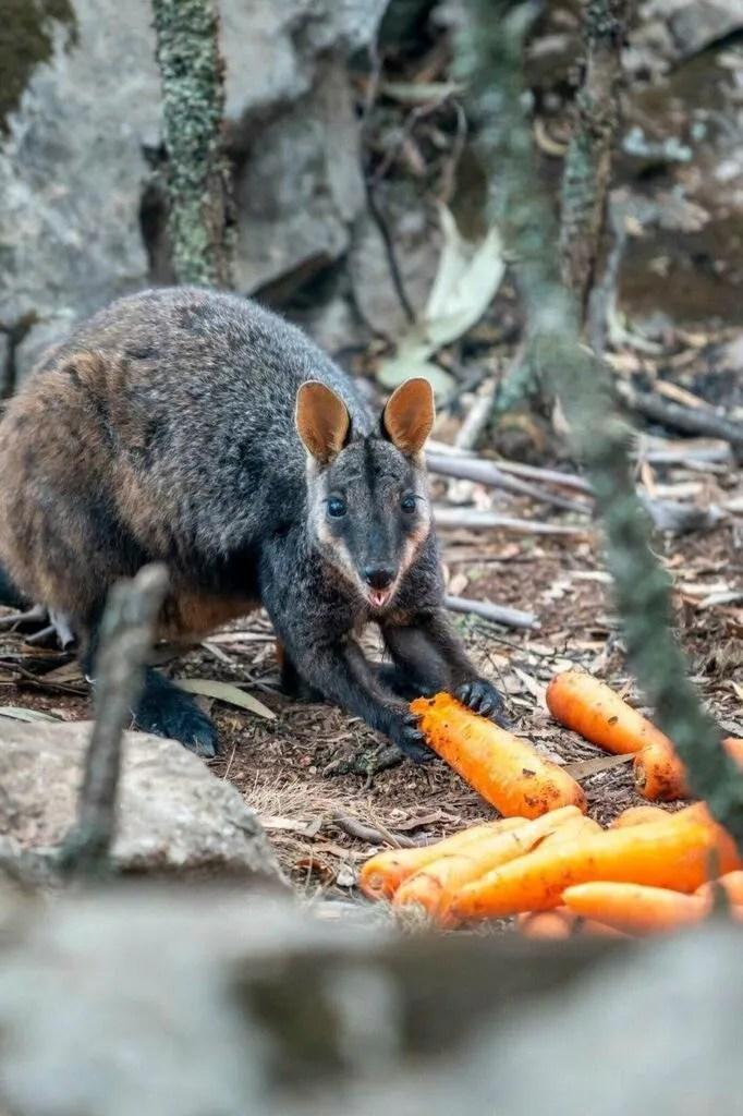 В Австралії їжу для тварин доставили вертольотами: милі фото та відео