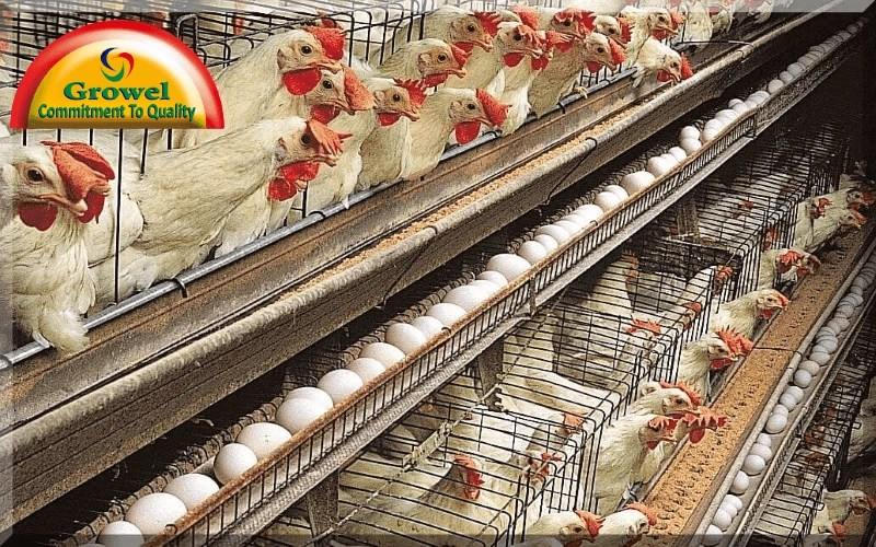 6 Steps To Start Layer Poultry Farming In Nigeria