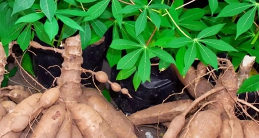 How To Produce Cassava In Nigeria