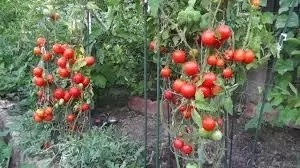 Best Tomatoes Planting Season In Nigeria