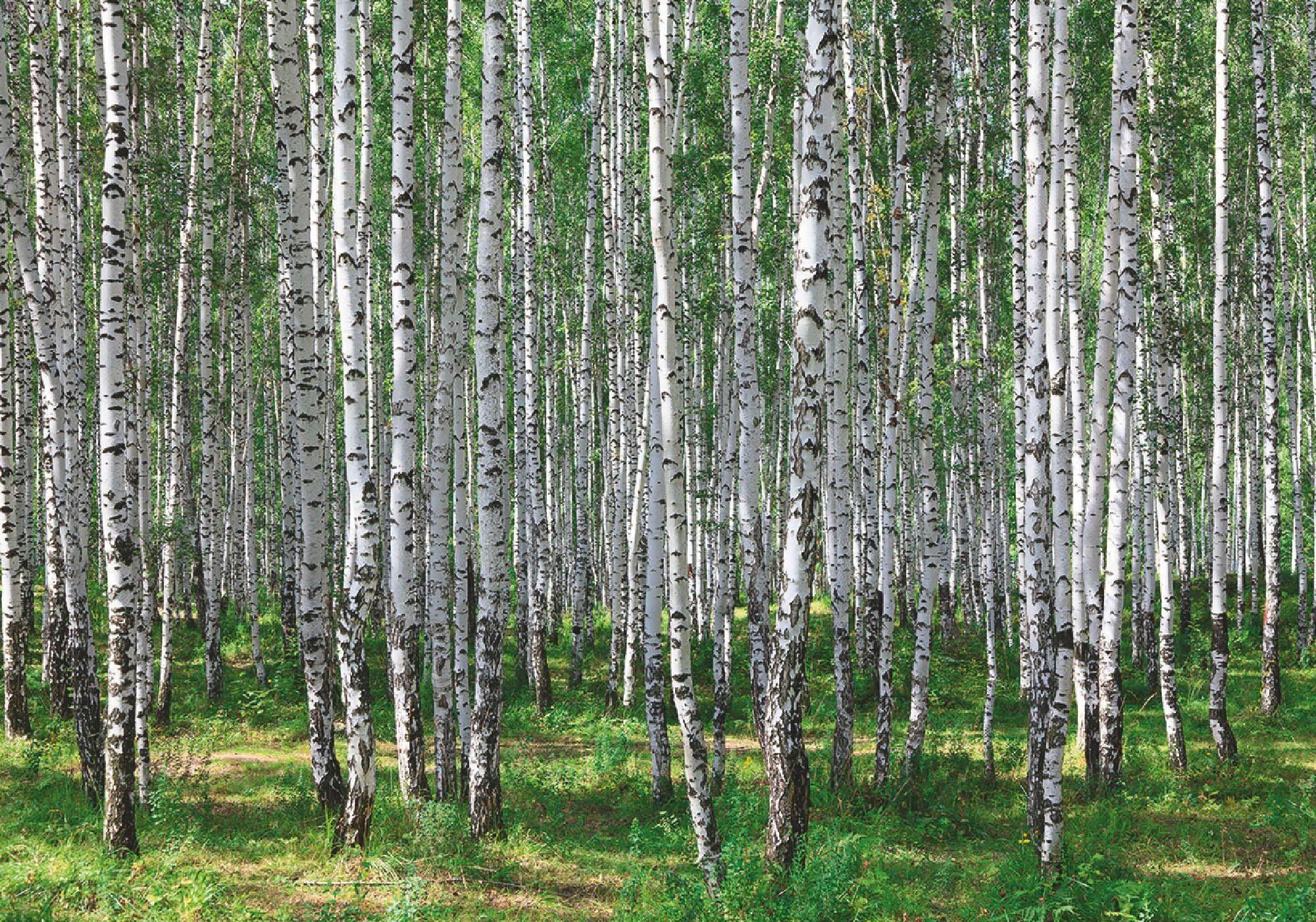 Home affaire Leinwandbild Birkenwald im Sommer 10070 cm online kaufen  OTTO