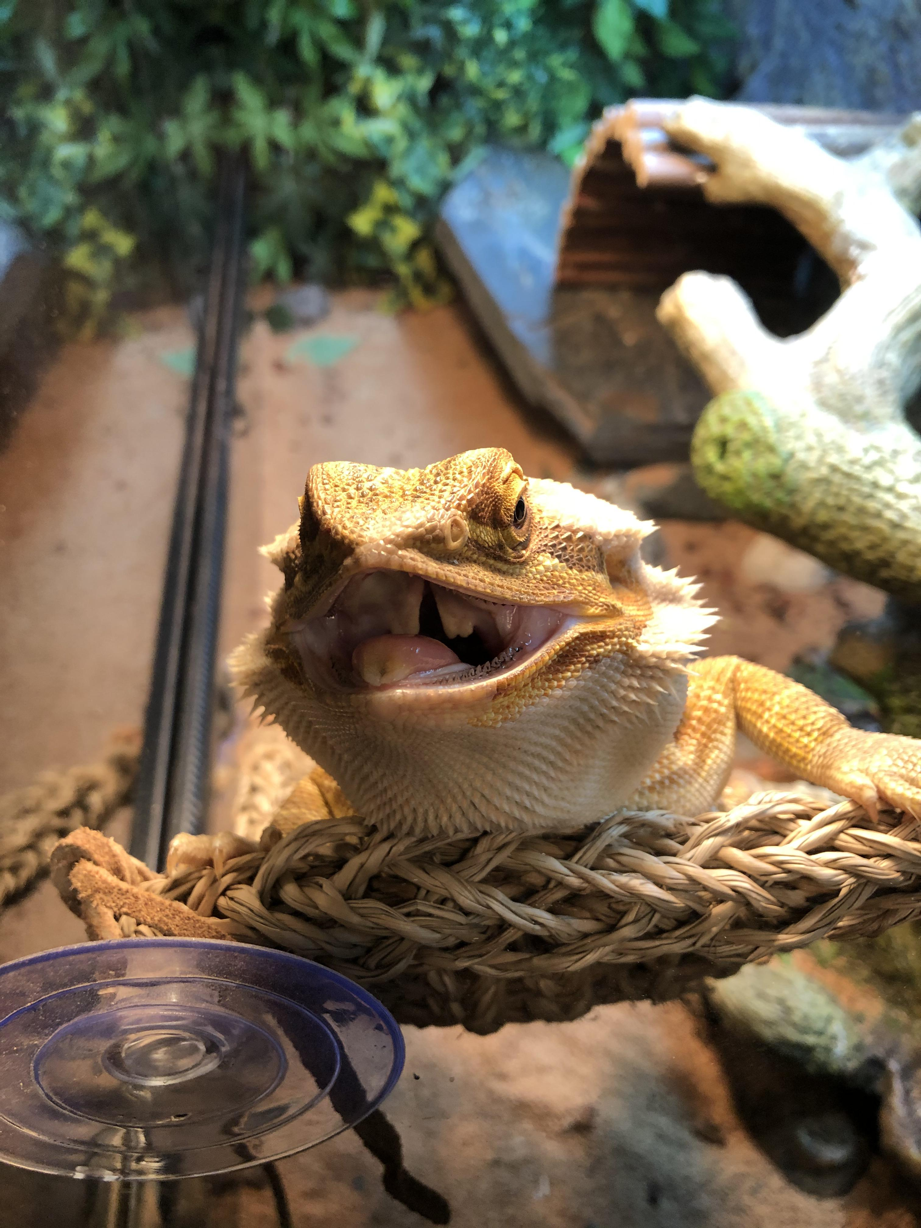 Look At That Beautiful Smile : beautiful, smile, Beautiful, Smile!!, About, Cleaning, Their, Dragons, Teeth?, BeardedDragons