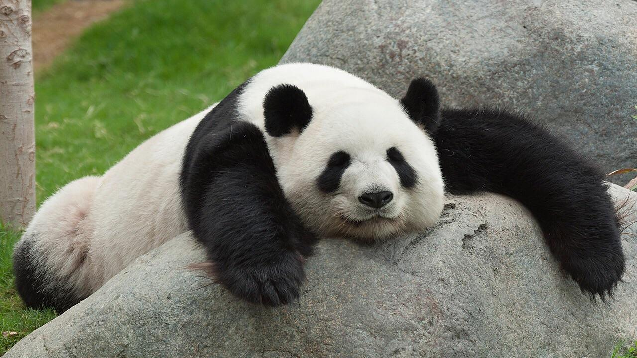 pandas fall asleep almost