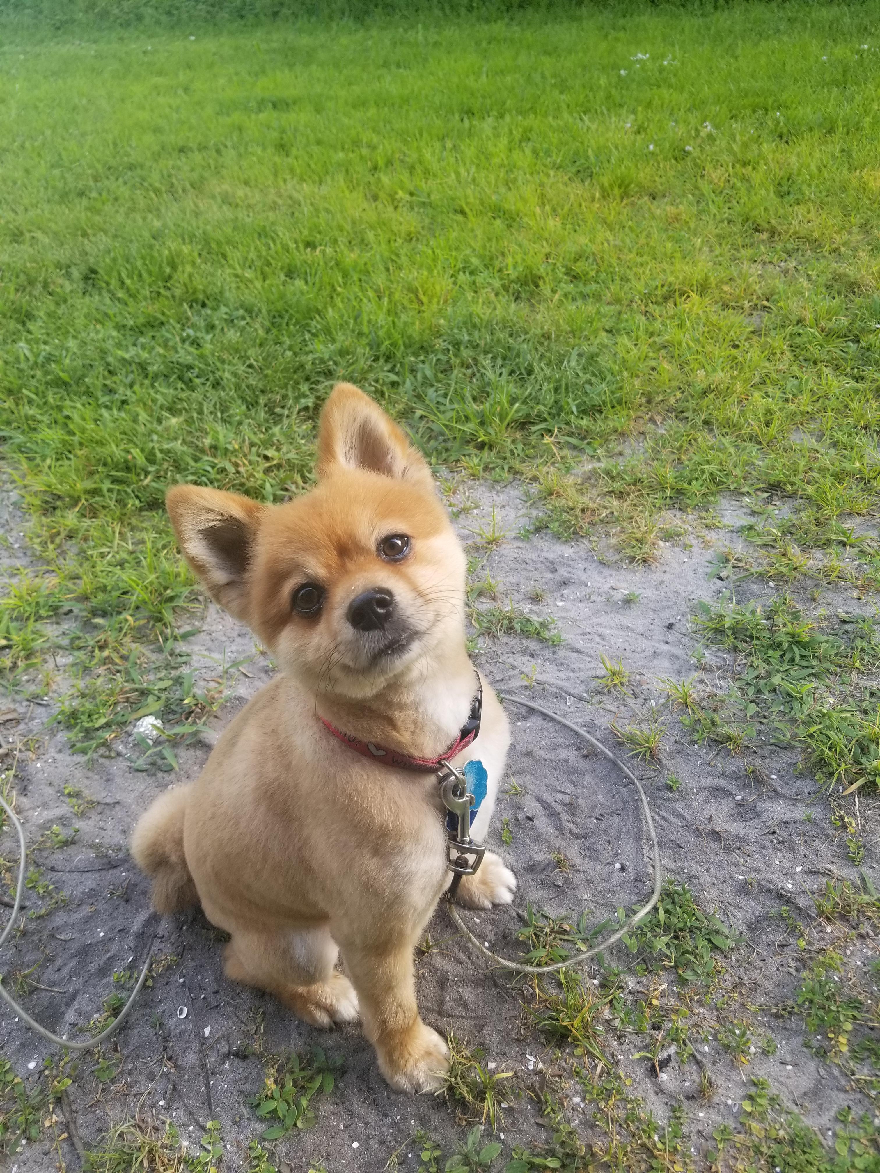 Pomeranian Short Haircut : pomeranian, short, haircut, Handsome, Pomeranian, Short...and, Relieved, Heat!, Reddit,, Grizz!