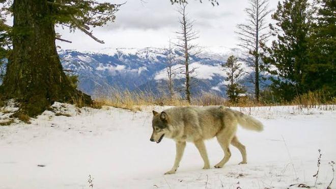 Wolf in Gilgit Baltistan, Pakistan