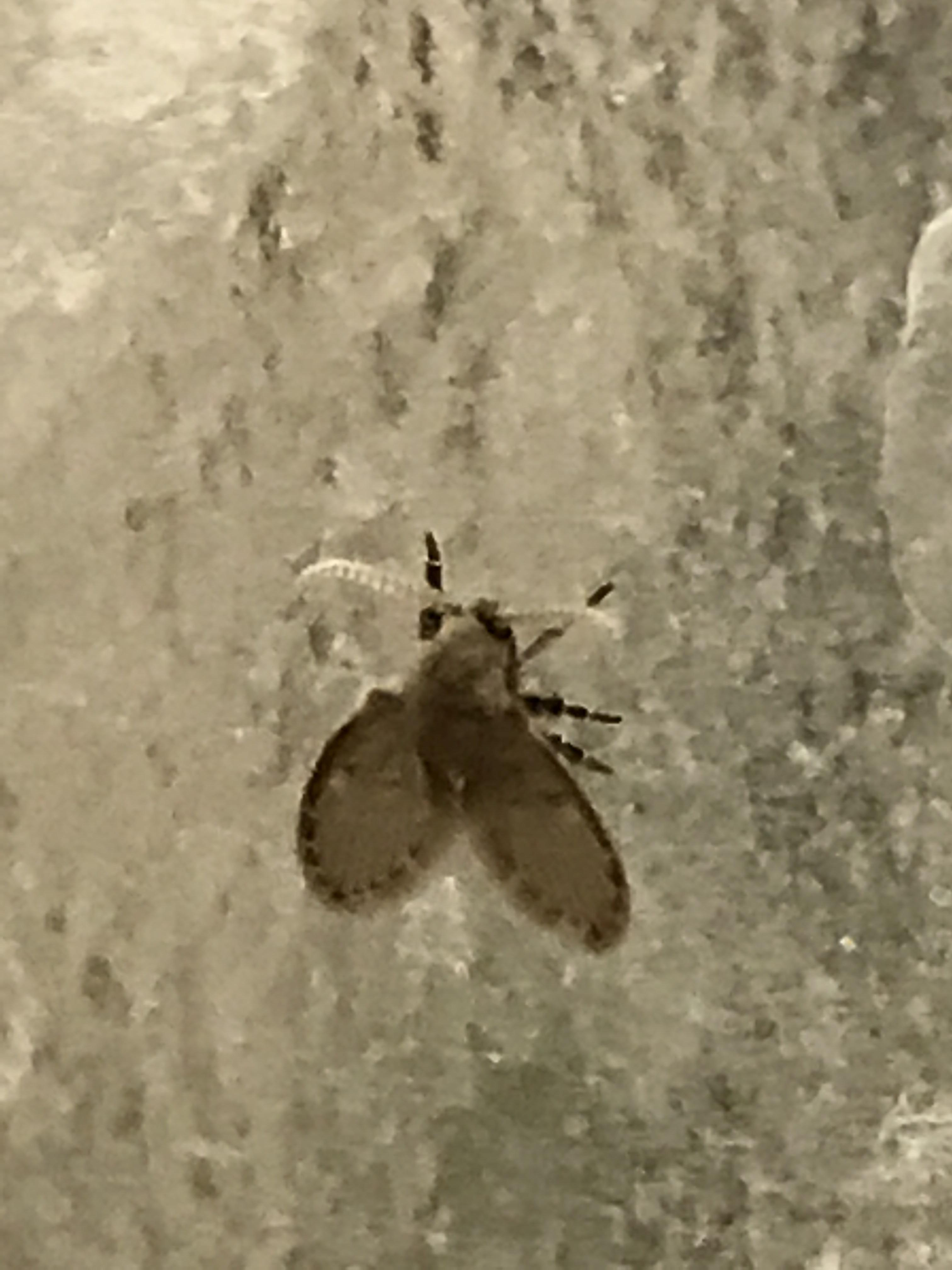 These Flys Show Up In My Bathroom No Matter How Clean It Is Only My Bathroom And They Are About The Size Of The Diameter Of A Pencil Eraser Whatsthisbug