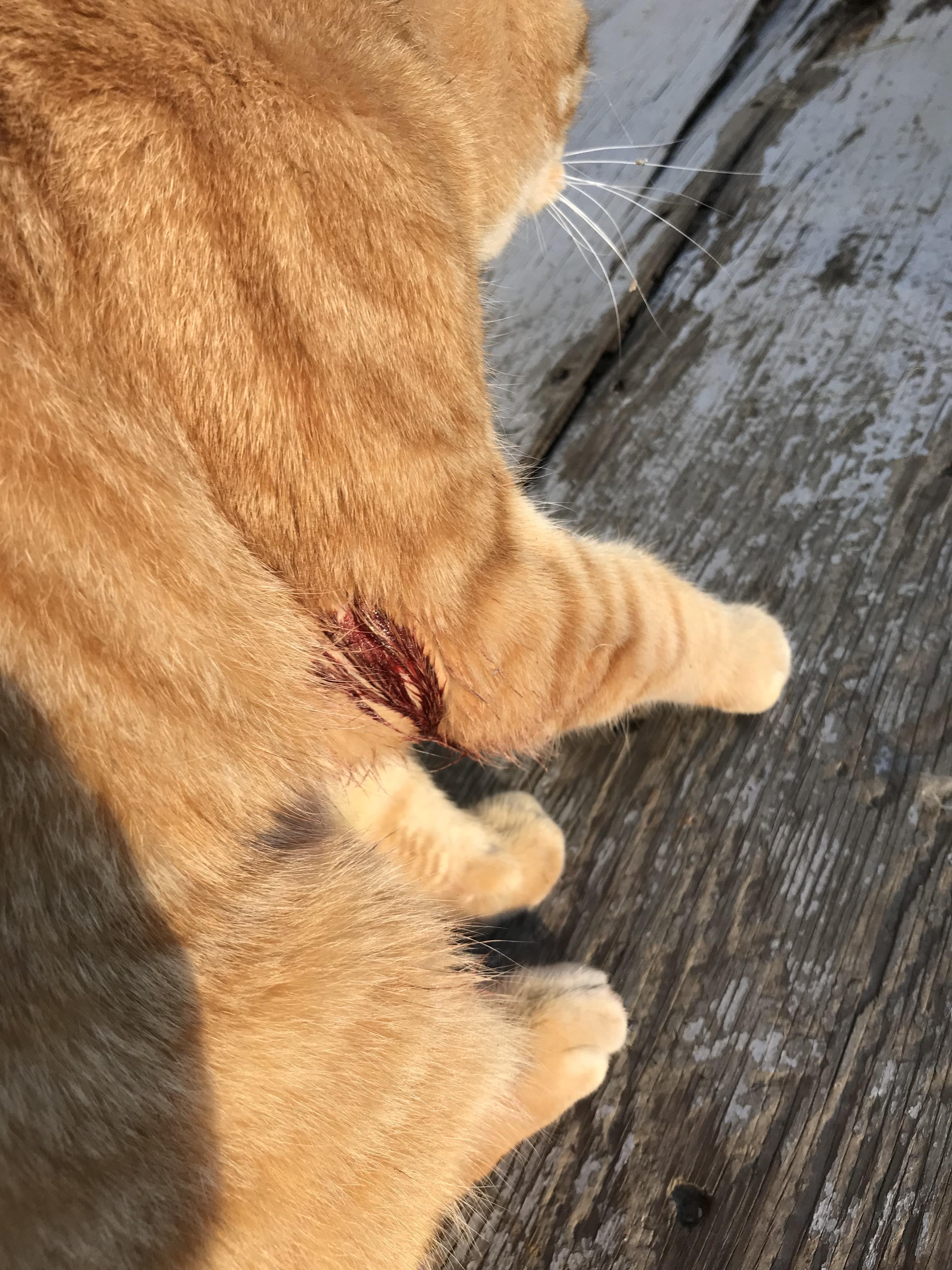 Orange Cat Pictures : orange, pictures, Orange, Tabby, Sunnyland, Neighborhood., Bigger, Bullet., Bellingham