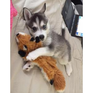 Superb Siberian Husky Puppies Available Buy Sell Pets Online