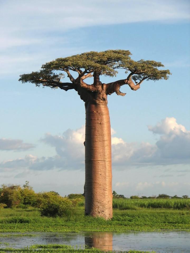 Baobab Tree (Photo credit to Bernard Gagnon)
