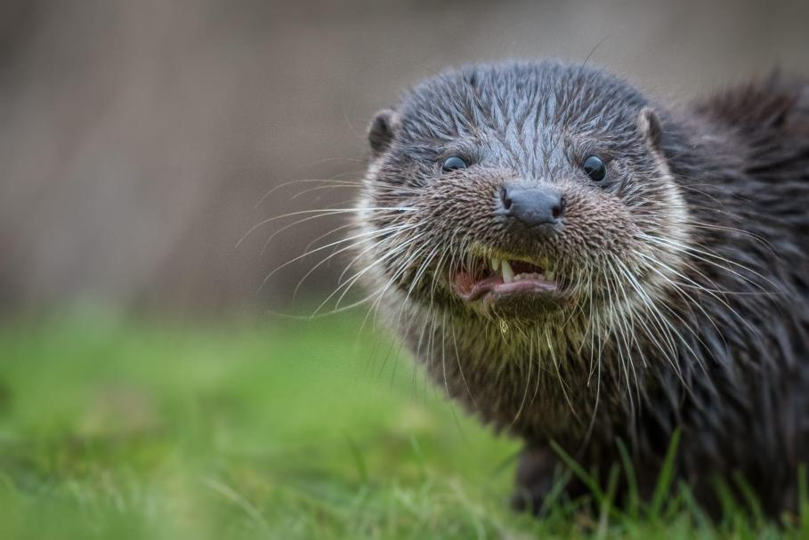 Image result for angry otters