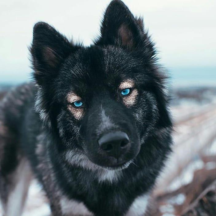black german shepherd with