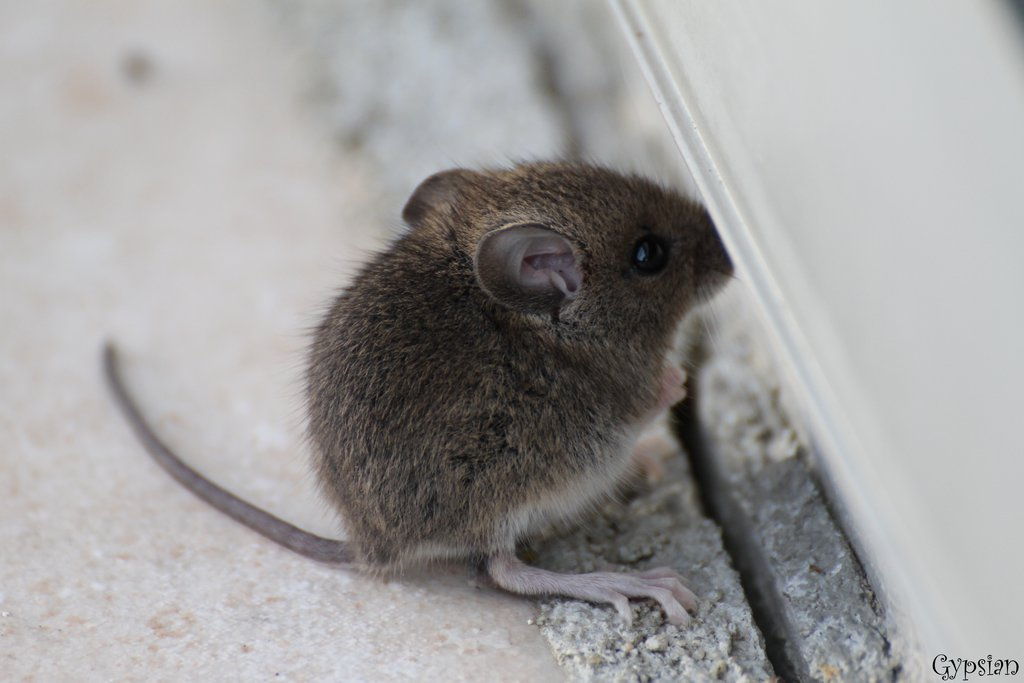 adorable baby mouse aww