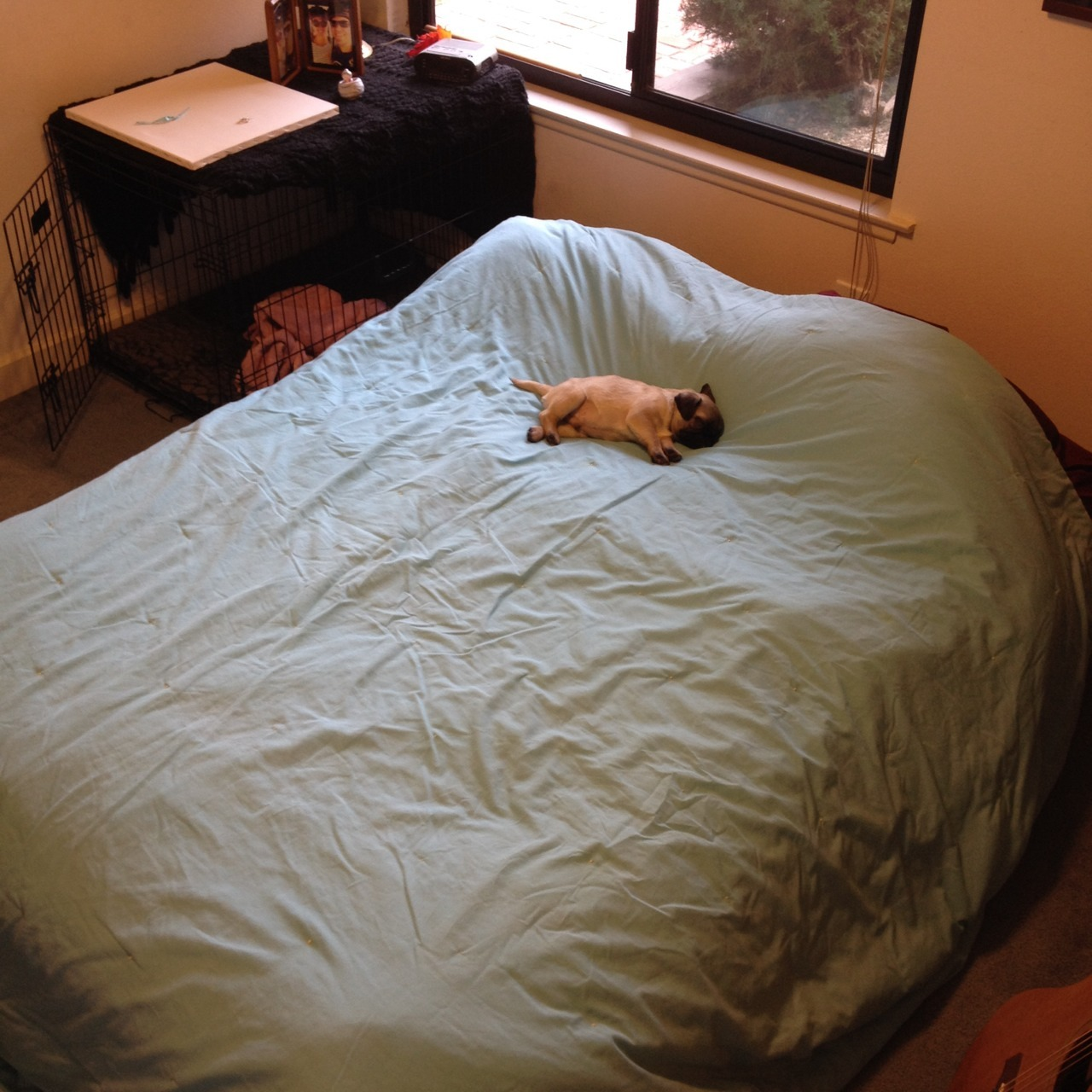 Little Pug Big Bed Aww