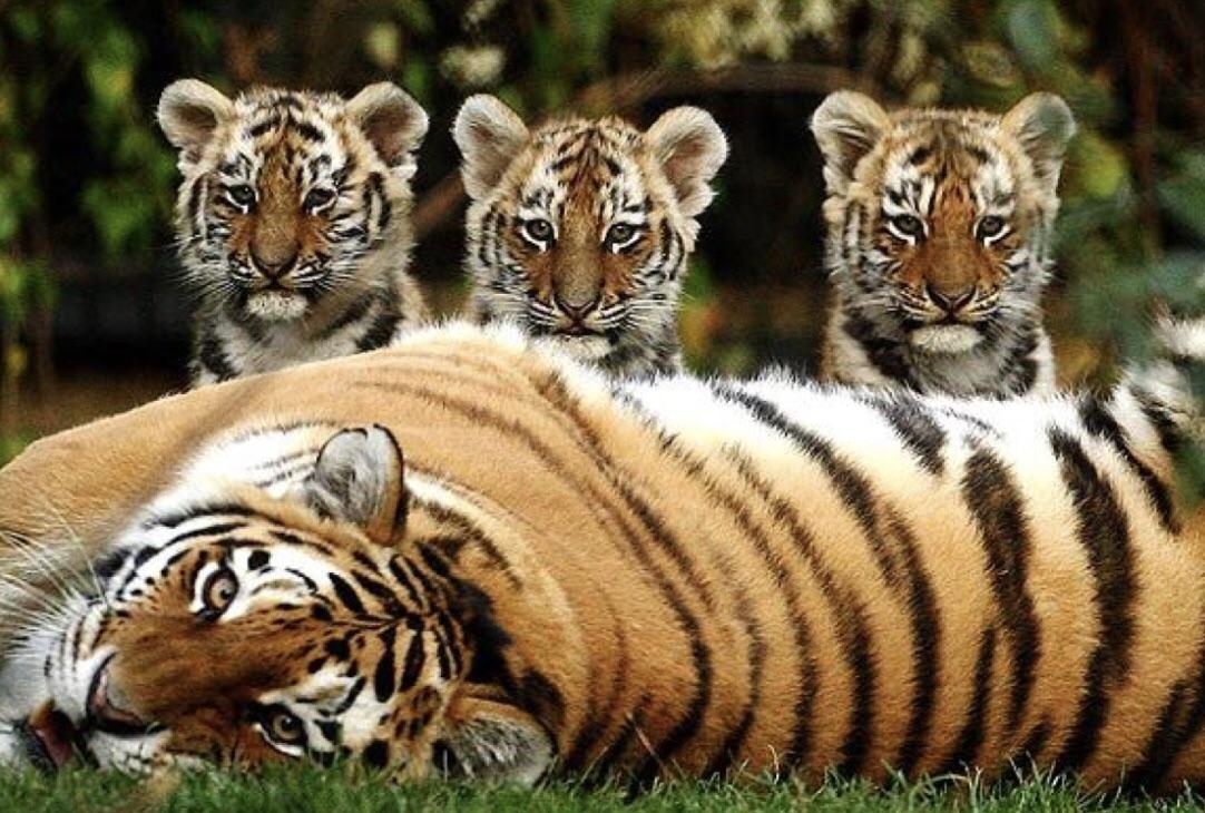 tiger mum and three