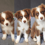 Tag Someone Who Needs A Lil Tri Aussie Pup Dogpictures