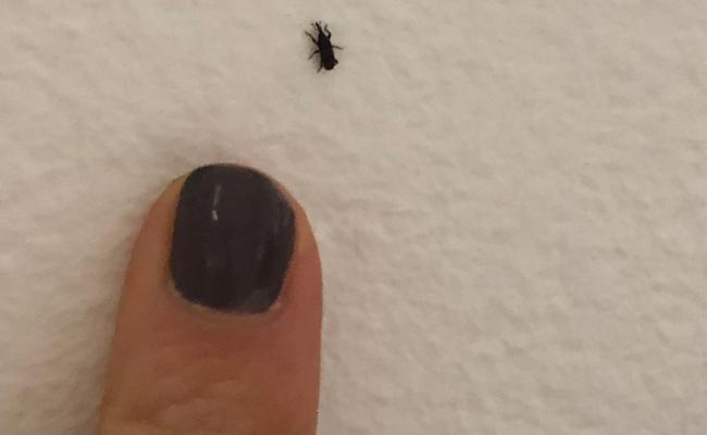 I Am Finding These Little Black Bugs Everywhere In My