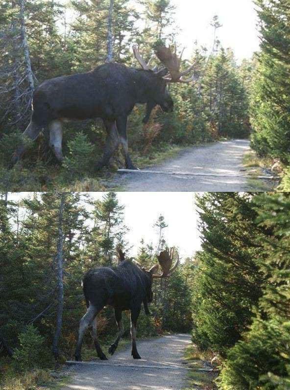 Alaskan Moose Size : alaskan, moose, Alaskan, Moose, Natureismetal