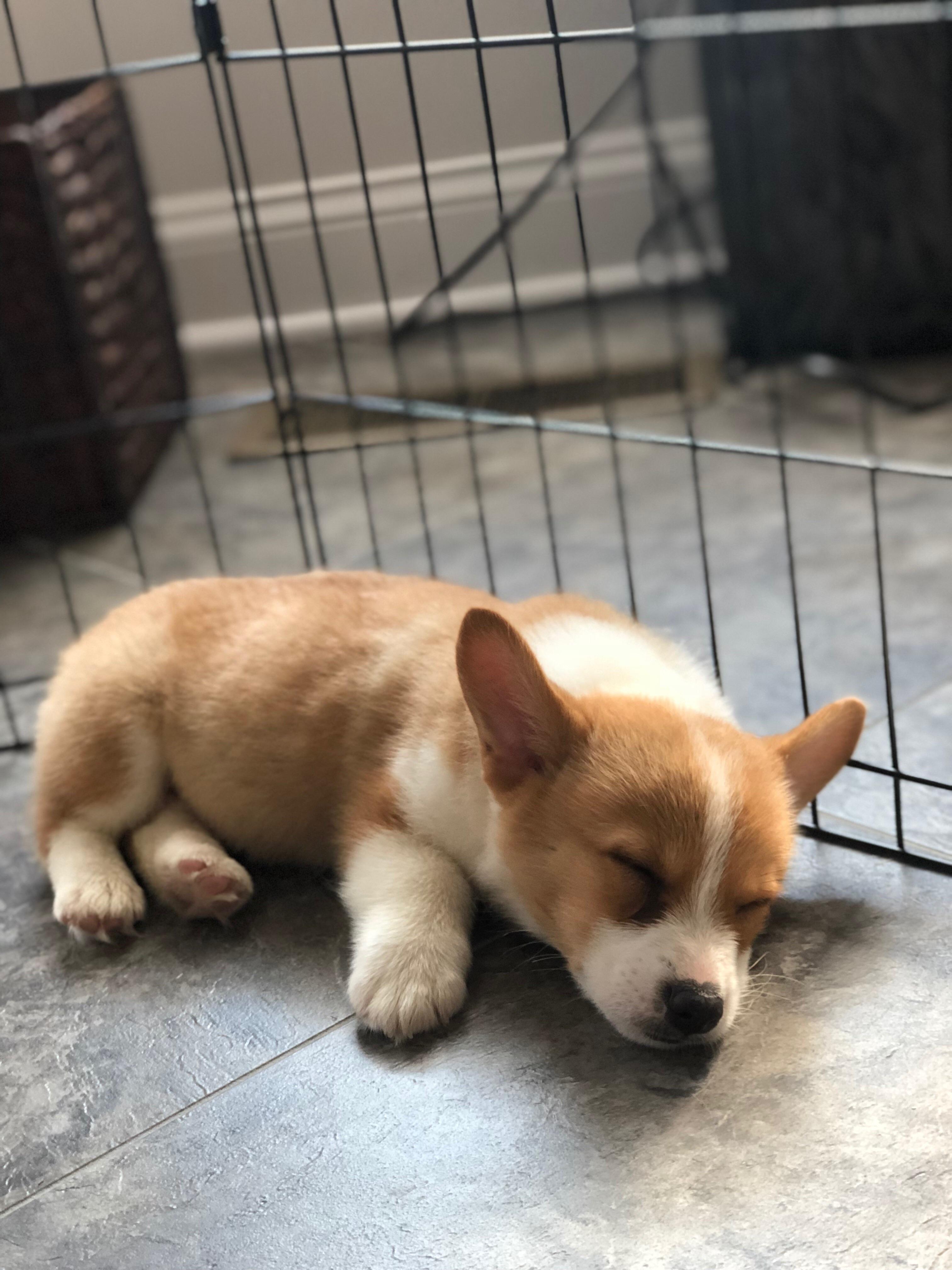 sleeping baby corgi aww