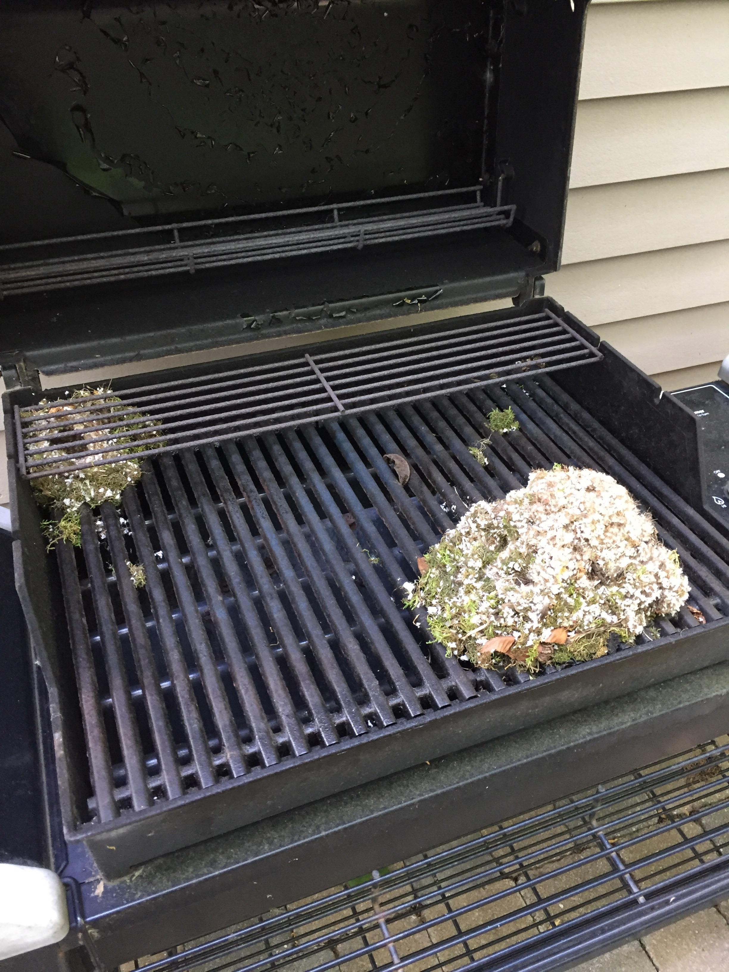 We were going to fire up the grill and found a mouse nest. The ...