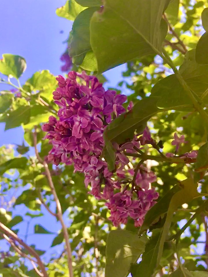 Pink Lilac (Photo credit to Christine DeMarco)