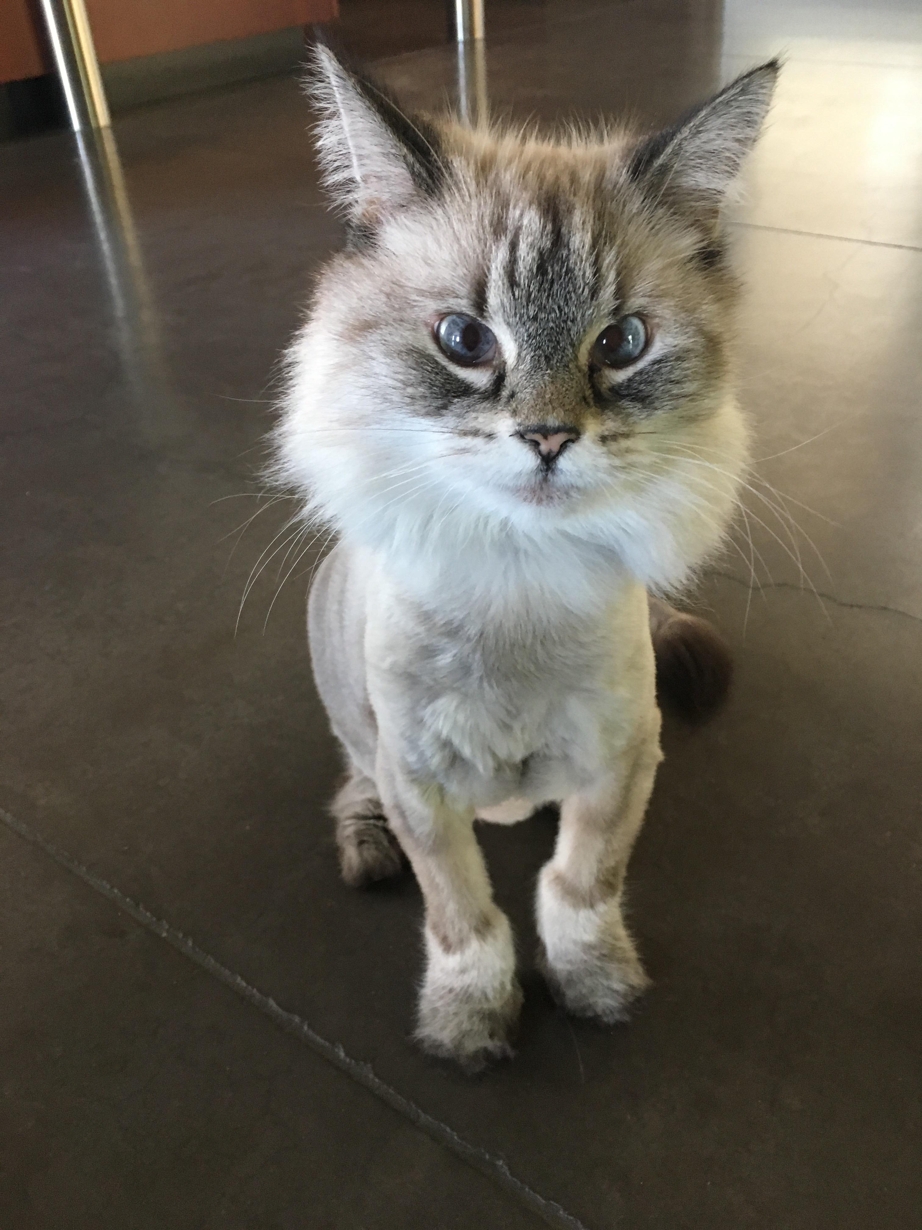Lion Haircut : haircut, Friend's, Haircut.