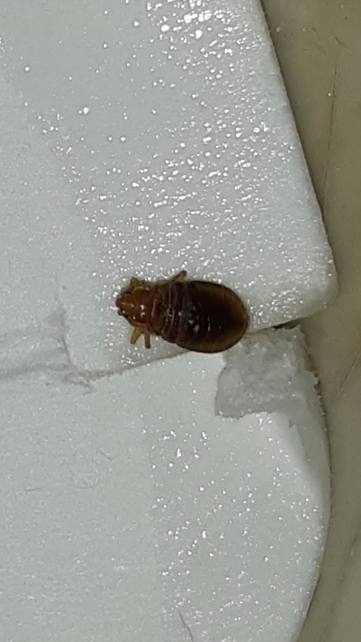 Help is this a bed bug? Found just this one crawling on ...