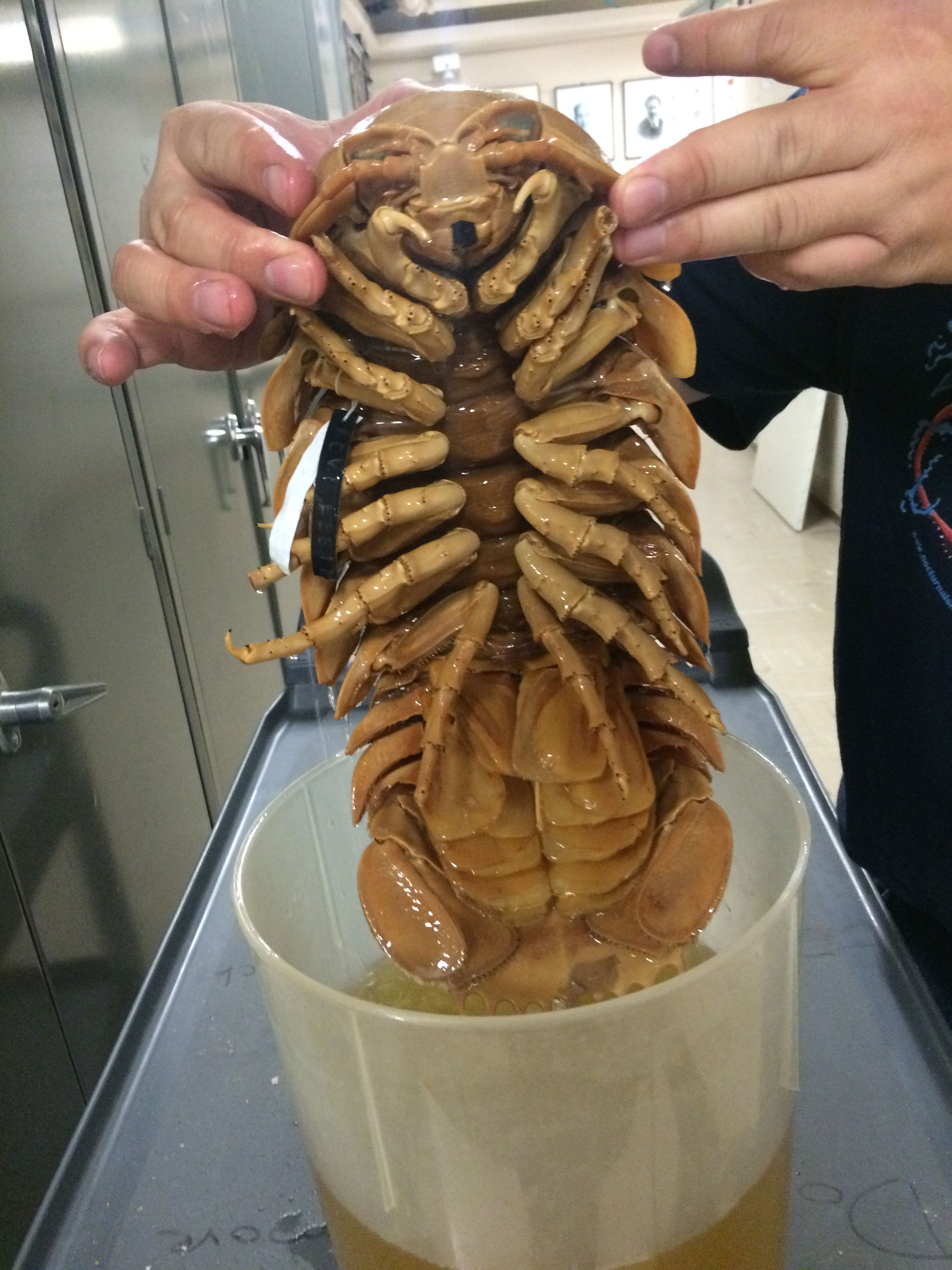 The Giant Isopod Found In The Deep Seas And Is An Example
