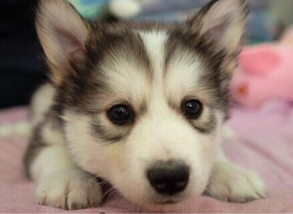 adorable baby husky close