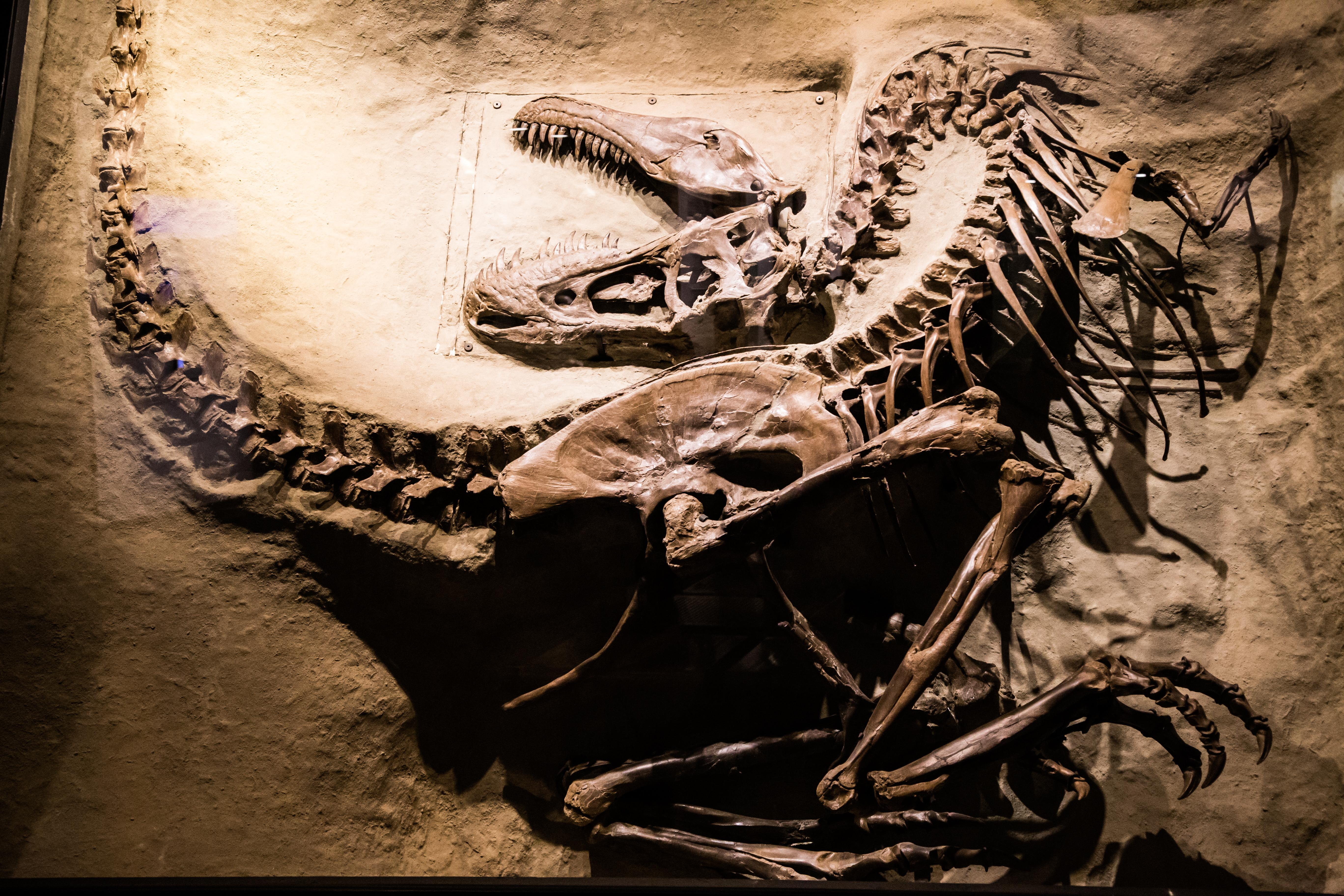This Is A Picture Of A Real Velociraptor Skeleton At The