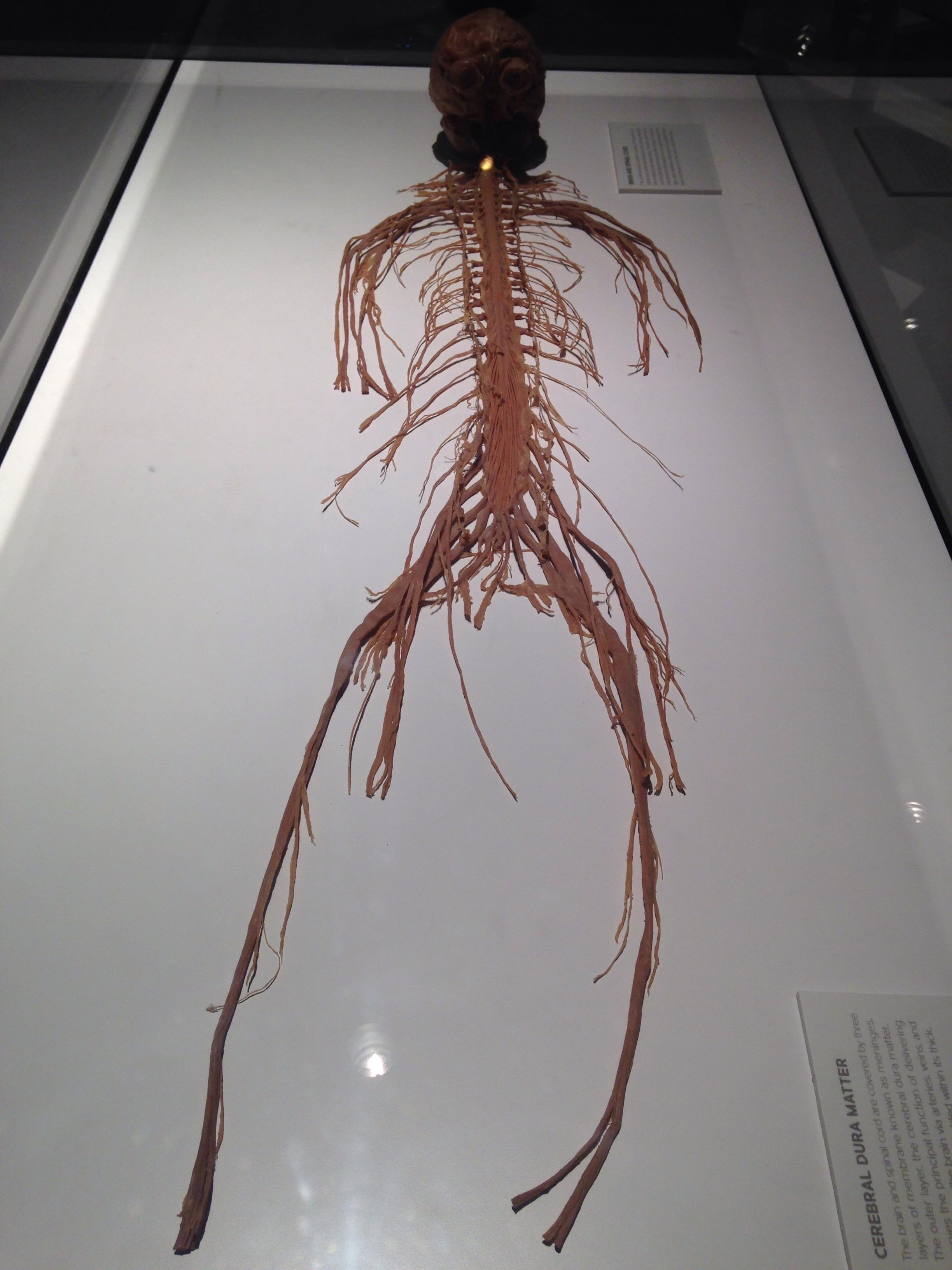 Central Nervous System Real Bo S Birmingham Uk