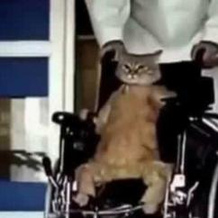 Wheelchair For Cats Wicker Patio Chair Cushions Cat In Irl Pyrocynical Memecat