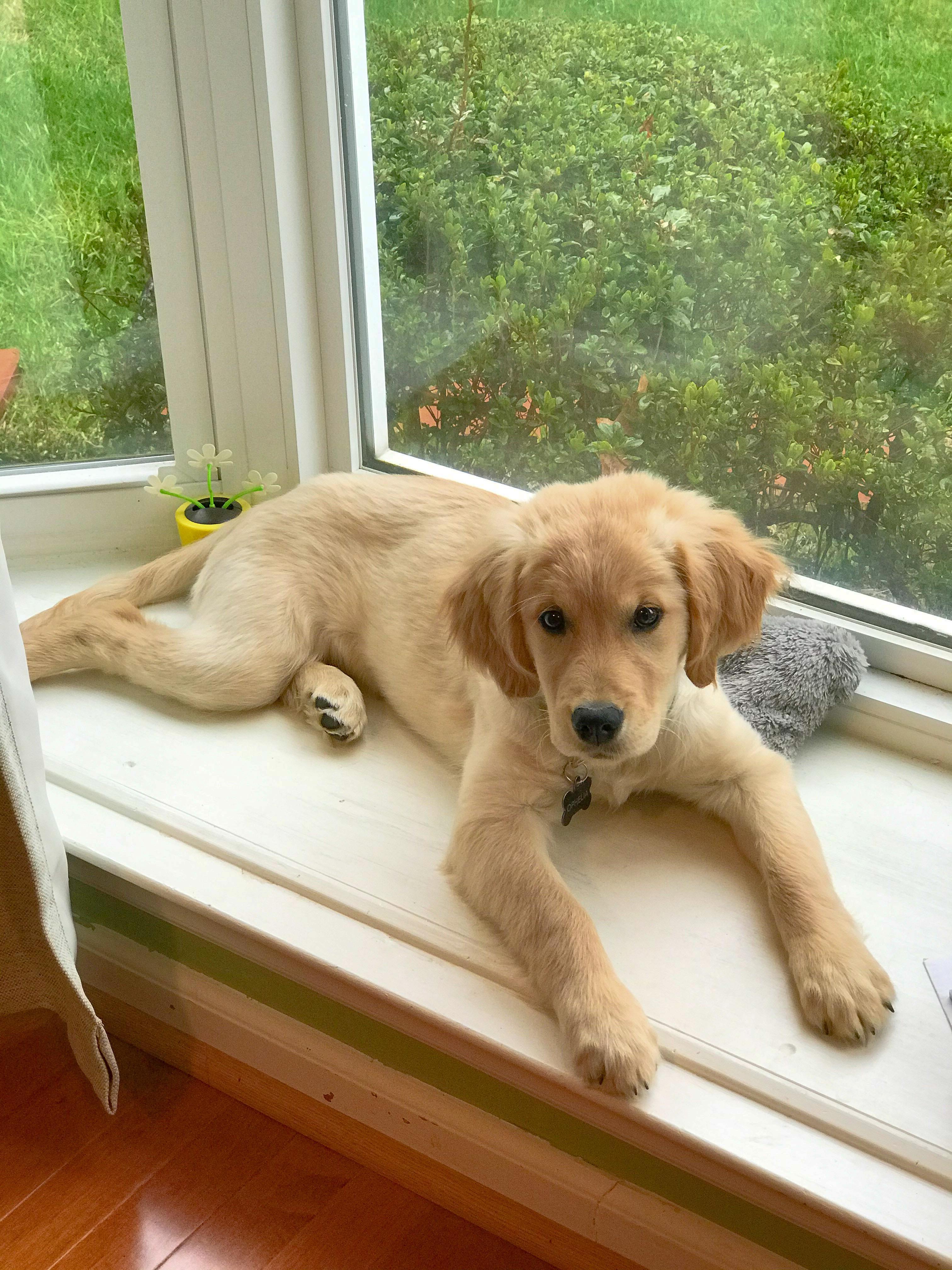 Dog Window Bed : window, Needs, You've, Window?, Goldenretrievers