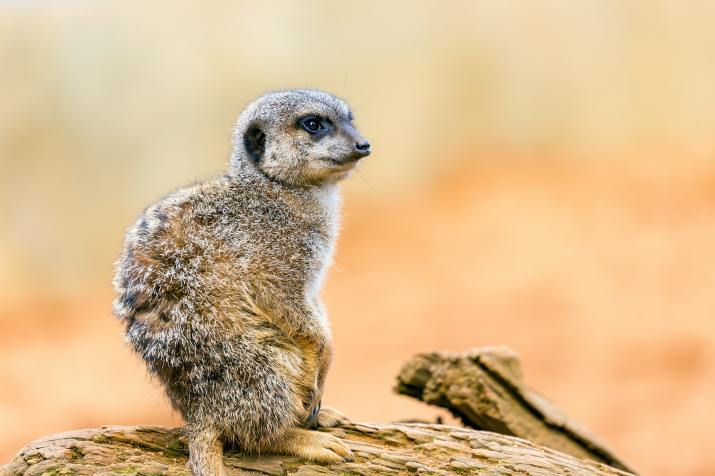 Meerkat (Photo credit to Andy Holmes) [5472 x 3648]