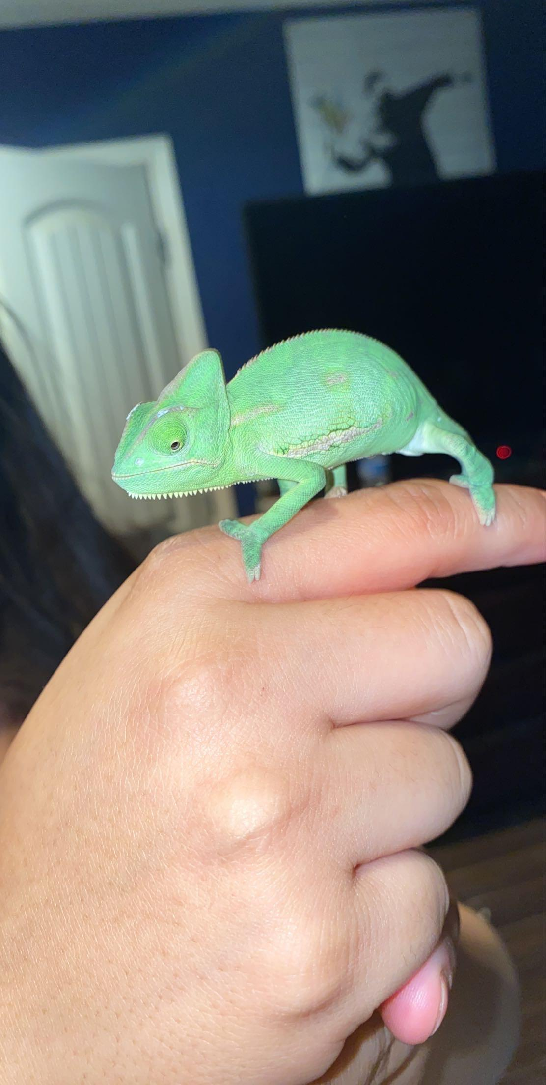 Petsmart Chameleon Cage : petsmart, chameleon, Little, Nagini,, Unfortunately, Bought, PetSmart, Husband, Better., Suggestions/, Advice, Greatly, Appreciate!, First, Chameleon, Owners!, Chameleons