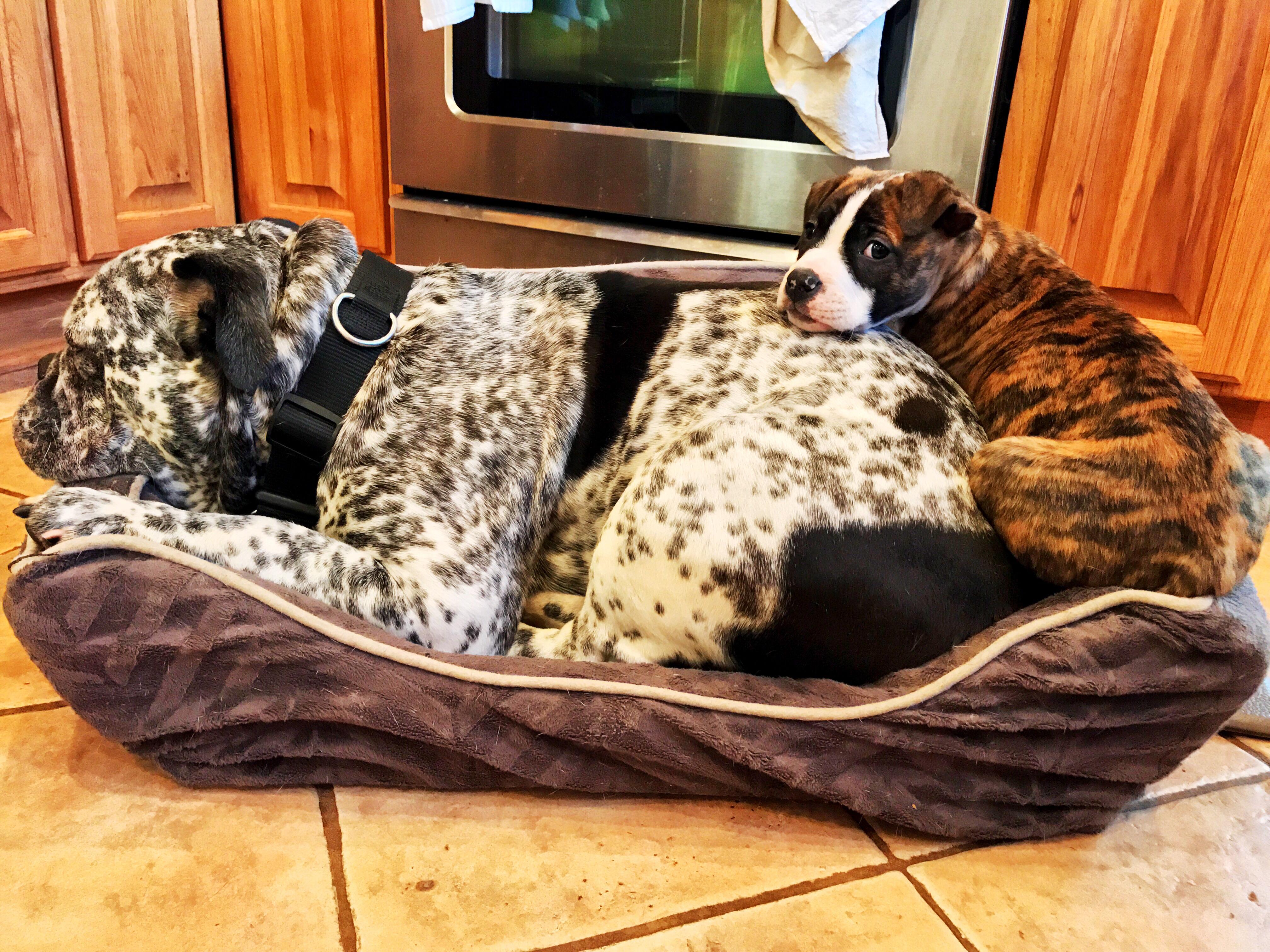 American meets English. Bulldog Life. : ImagesOfUSA